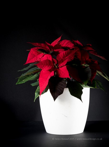 Poinsetta at Christmas