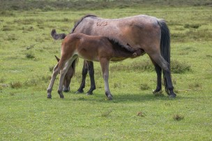 New Forest ponies in the wild