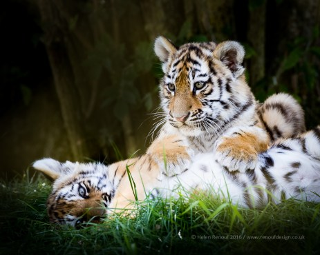 Marwell Zoo and the Tiger Cubs