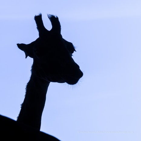 At The Zoo - giraffe silhoutte