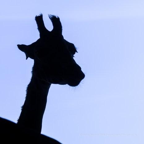 At The Zoo - giraffe silhoutte