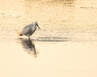 A Little Egret with fish in the evening sun