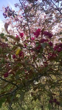 Thorn apples blooming on our farm in northern Minnesota spring