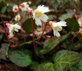 Shortia-galacifolia
