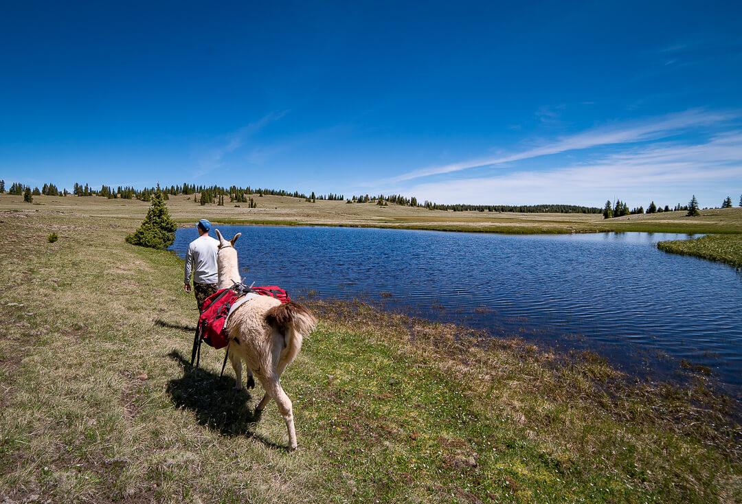 hiking and fishing trip with pack llamas utah boulder mountains