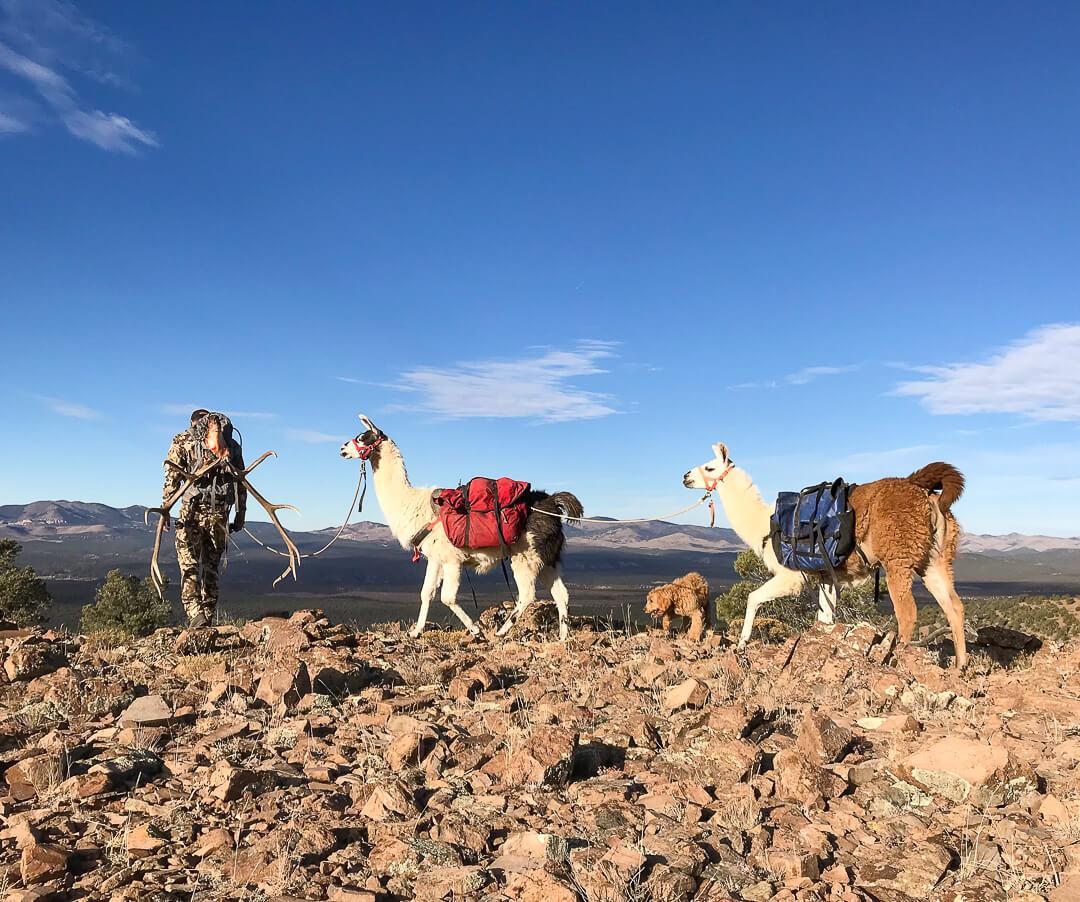 big game pack-outs elk mule deer pack llamas nevada utah arizona