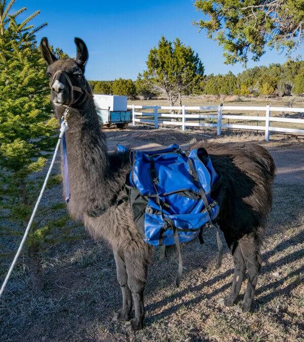 pack llama rentals soutern utah ccara pack llama
