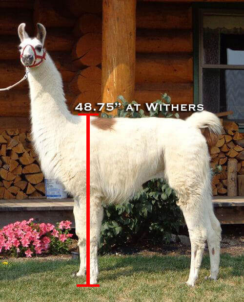 height of an ideal pack llama