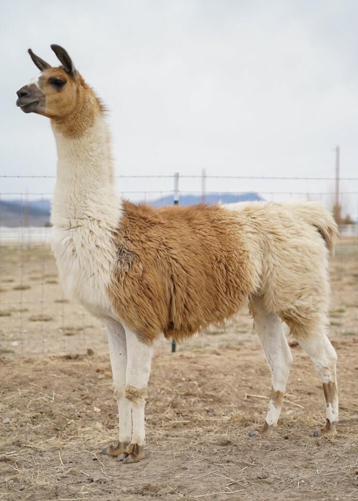 ccara pack llamas for sale