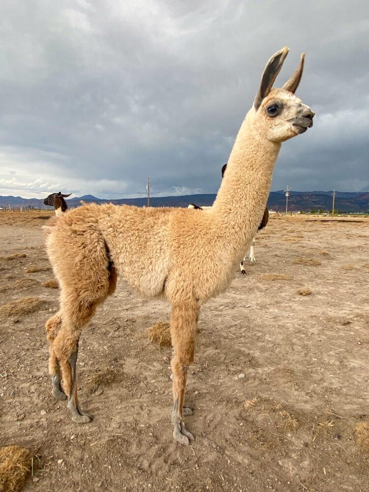 ccara pack llama sales