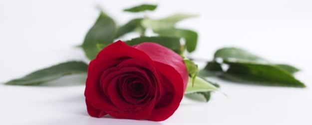 flat red rose