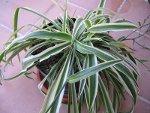 Gruenlilie als Zimmerpflanze im Keller