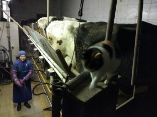 Mici se greje v molzišču. Krave ima že zdresirane, jo pustijo pri miru.