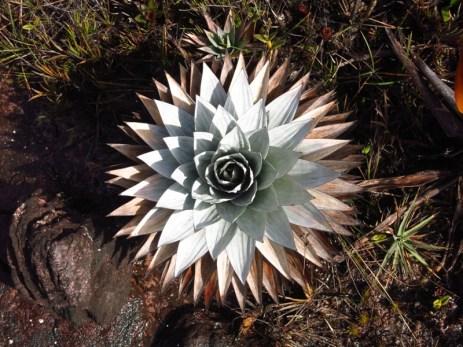 Plante endémique du Roraima