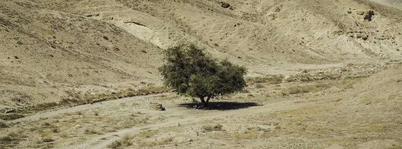 Acacia Tree, Surviving During Hard Times