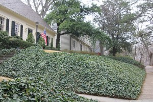 Residents in Ardmore Park tend to cover their yards in Ivy, the upkeep being easier than a traditional grass lawn.