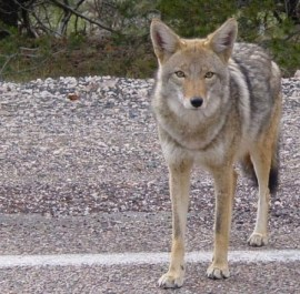 File photo of a coyote. Source: Wikimedia Commons