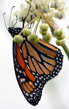 Monarch butterfly. Courtesy Blue Heron Nature Preserve