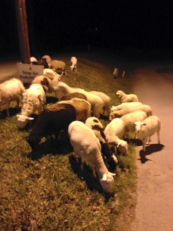 sheep on dresden drive