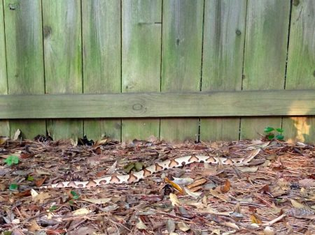 A copperhead snake spotted in a Buckhead back yard in 2014. (File Photo)