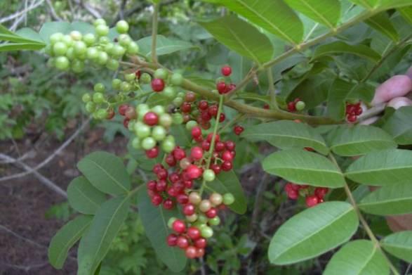 Aroeira-vermelha (também conhecida como peppertree), é uma espécie nativa da América do Sul (Forest & Kim Starr/Wikimedia Commons)