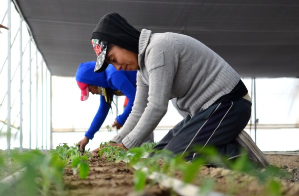 Cultivo de jitomates (1)