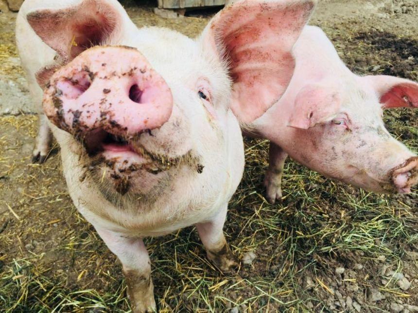 peste-porcina-africana-informacion-basica
