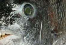 Photo of O Sargo-de-dentes, um peixe com uma dentadura que parece humana