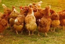 Photo of Queres voar? Não te metas com galinhas!