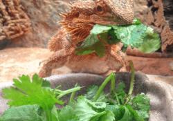 bearded dragon won't eat greens - bearded dragon eating cilantro
