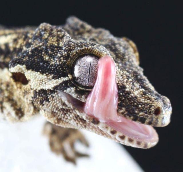gargoyle gecko tongue - gargoyle gecko humidity