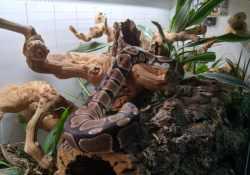 Ball python terrarium ideas - Zack Tippie3