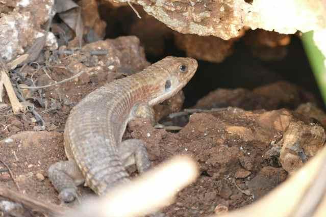 sudan plated lizard habitat