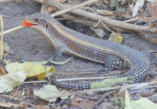 sudan plated lizard feeding fruit