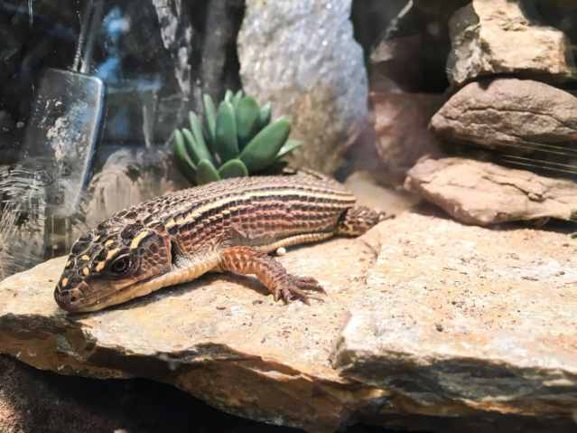 basking sudan plated lizard tank