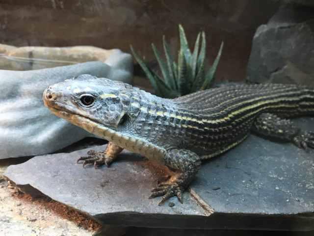 sudan plated lizard feeding calcium powder