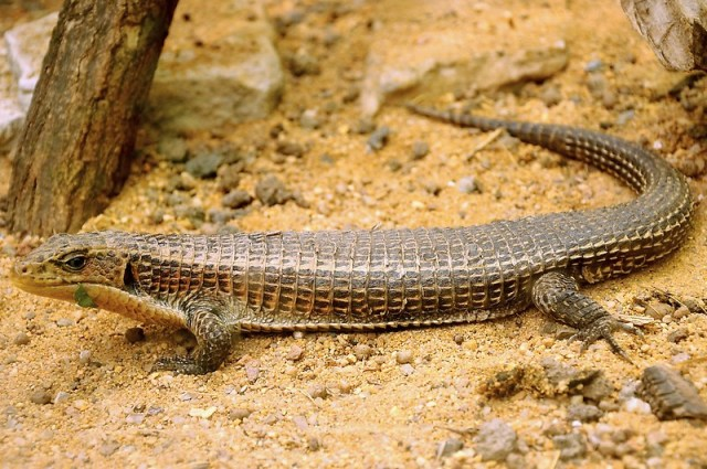 sudan plated lizard substrate photo - sand