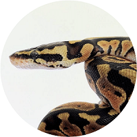 ball python homepage feature - 200x200