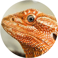 bearded dragon care guide homepage feature - 200x200