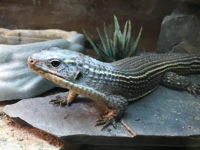 reptile calcium powder on lizard's face