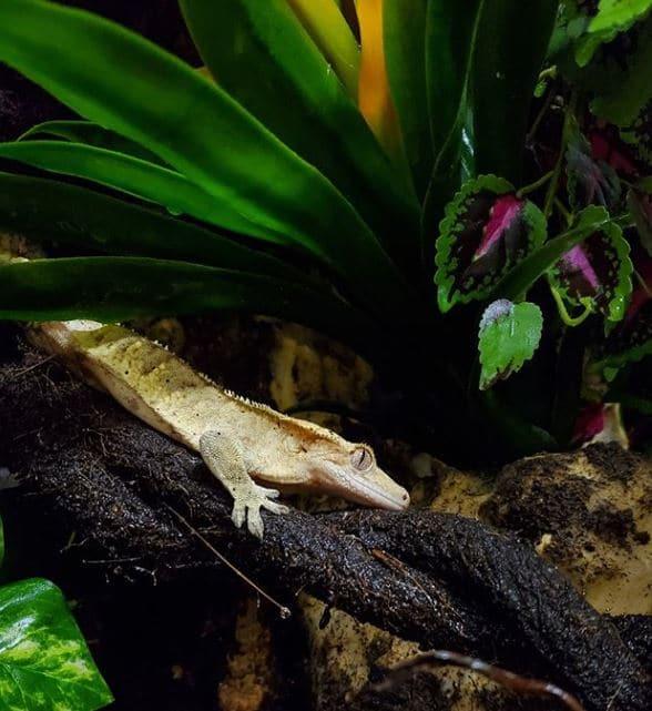 live plants vs fake plants - crested gecko under fake plants