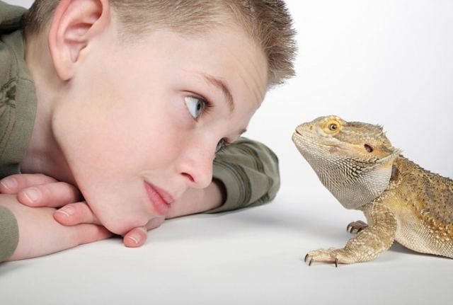 new reptile keeper looking at bearded dragon
