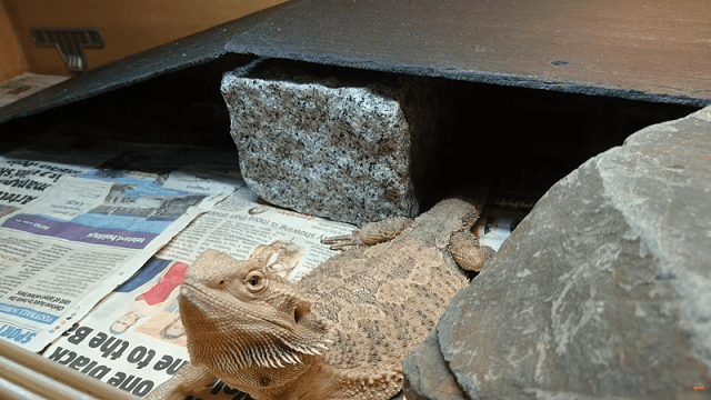 bearded dragon quarantine enclosure