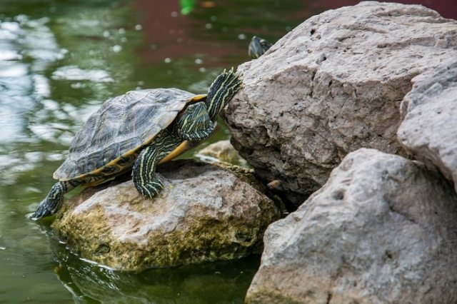 red eared slider basking area