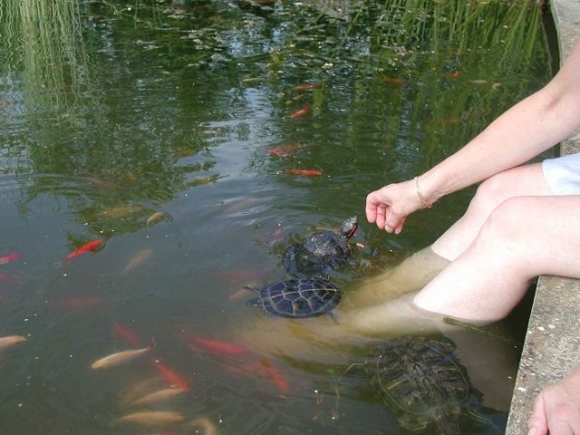 hand feeding turtles