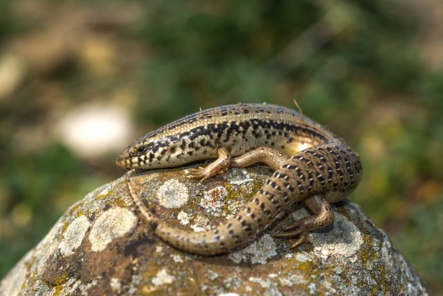 ocellated skink (chalcides ocellatus) on a rock