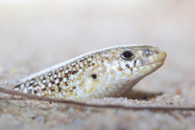 ocellated skink substrate - sand