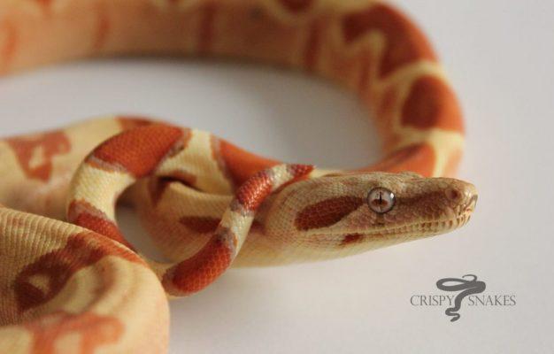 Boa constrictor morphs - bci pp vpi tglow - crispy snakes