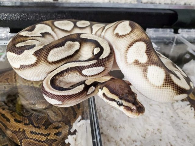 Cinnamon orange dream morph ball python - Wasatch Reptile Expo 2019