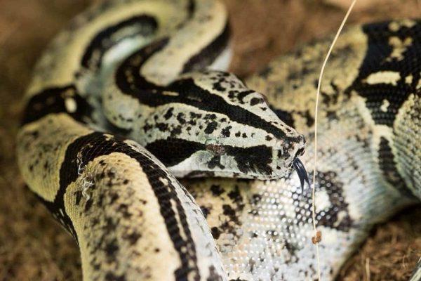 Boa constrictor subspecies - boa constrictor longicauda